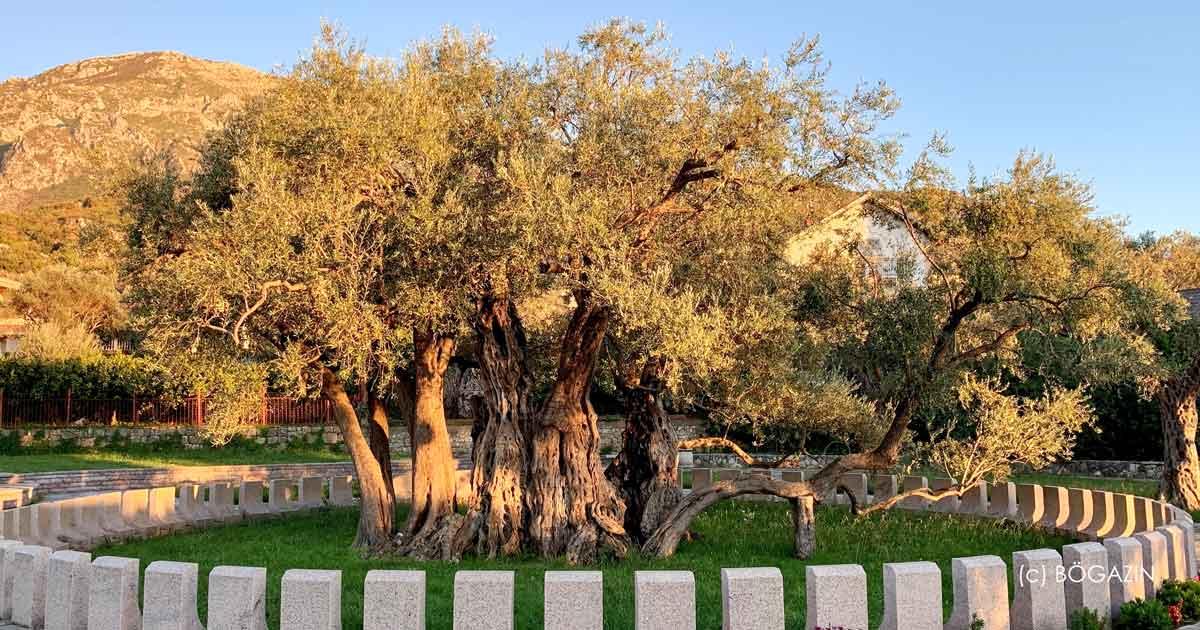 Ältester Ölbaum Montenegro
