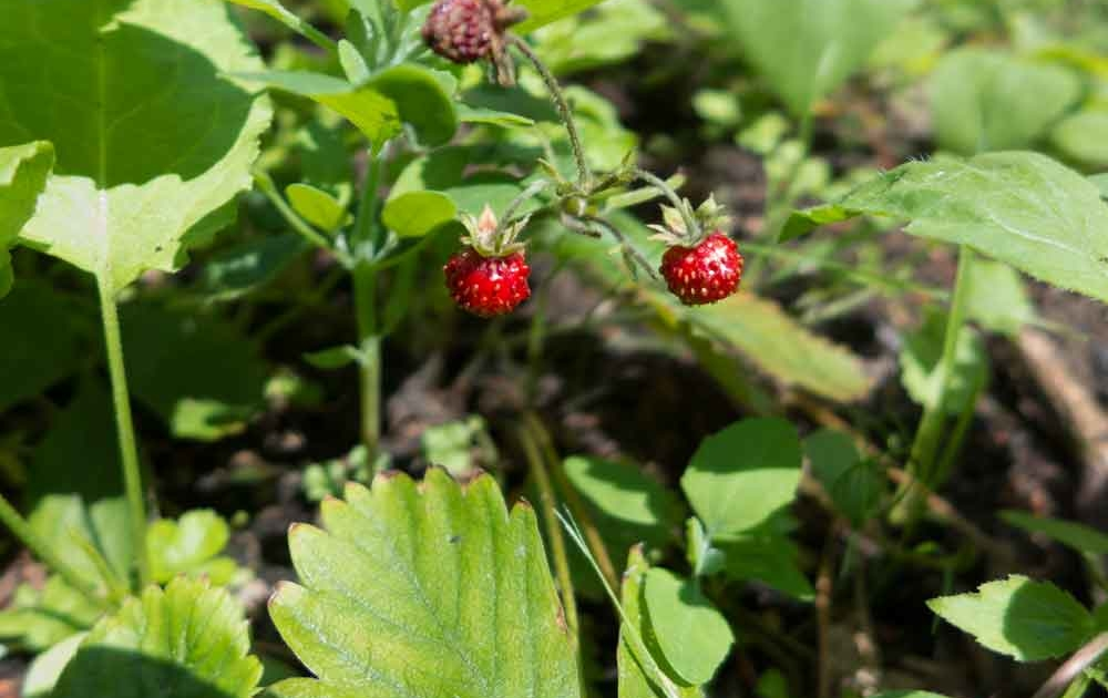 Walderdbeerenpflanzen richtig pflanzen und pflegen