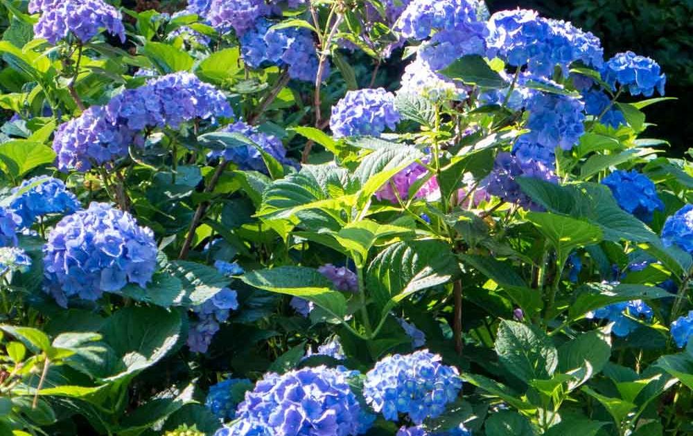 Hortensien pflegen viel Wasser zum Blühen