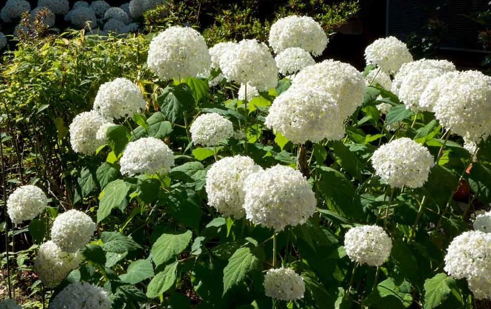 Schneball-Hortensien richtig pflegen