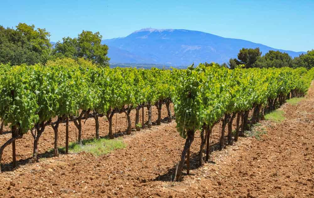 Roseweine aus Mont Ventoux