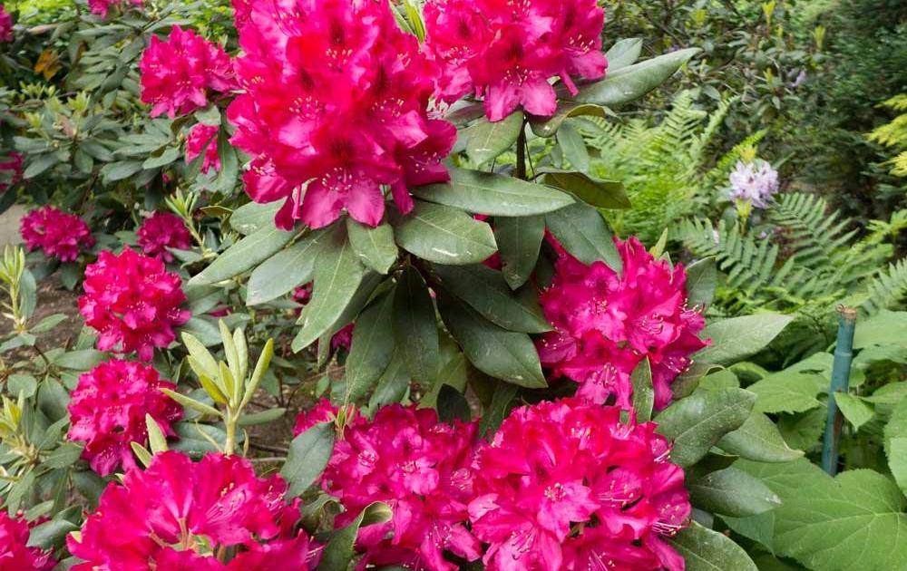 Richtige Standort für Rhododendren