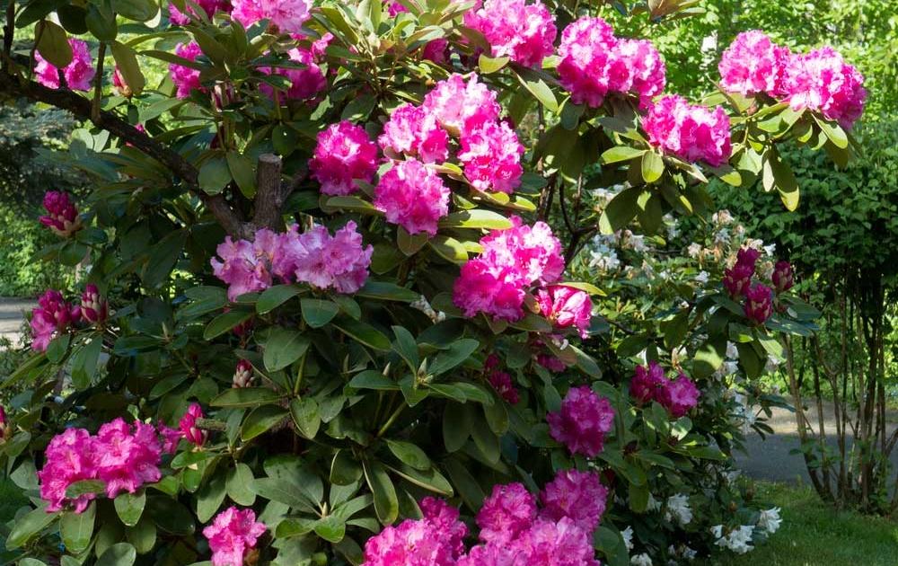 Rhododendron pflanzen und pflegen