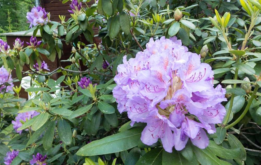 Rhododendron pflanzen kaufen