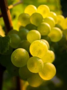 für Cremants ist die Chardonnay Trauben wichtig